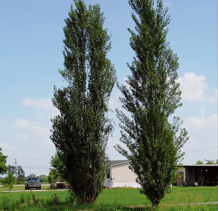 20-trees-you-should-never-consider-planting-in-your-yard_15