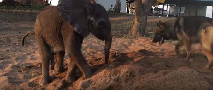orphaned-baby-elephants-unlikely-yet-heartwarming-friendship_7