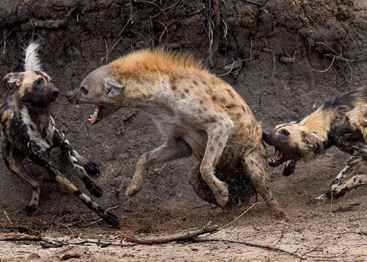 this-hyena-was-cornered-by-a-pack-of-wild-dogs-but-what-it-does-next-is-genius_2