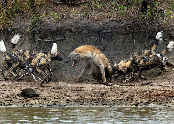 this-hyena-was-cornered-by-a-pack-of-wild-dogs-but-what-it-does-next-is-genius_4