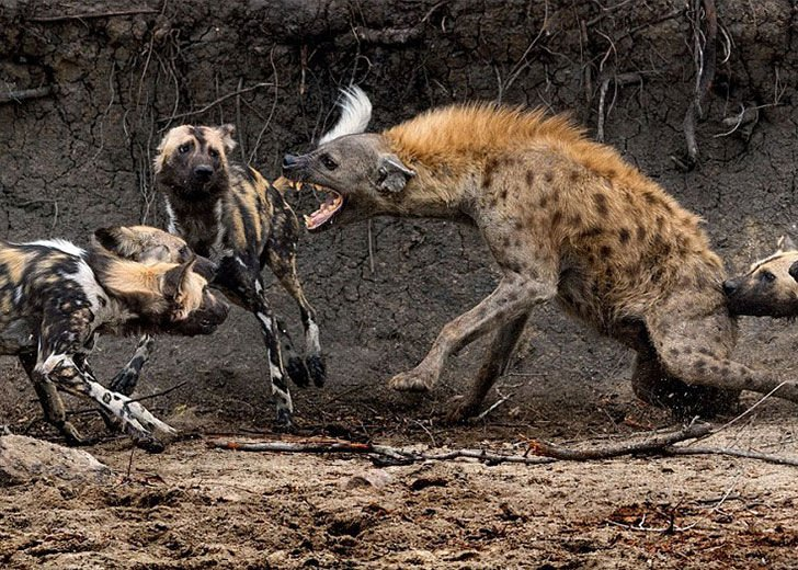 this-hyena-was-cornered-by-a-pack-of-wild-dogs-but-what-it-does-next-is-genius_5