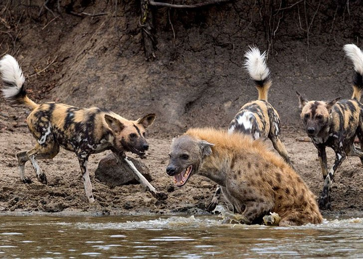 this-hyena-was-cornered-by-a-pack-of-wild-dogs-but-what-it-does-next-is-genius_7