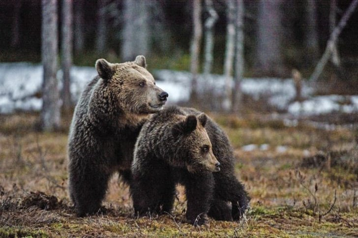two-bear-cubs-left-to-drown-by-their-mother-are-miraculously-saved-by-unexpected_18