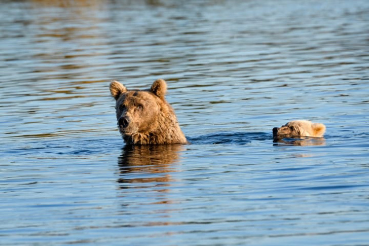 two-bear-cubs-left-to-drown-by-their-mother-are-miraculously-saved-by-unexpected_6
